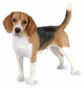Beagle as apartment pet dog