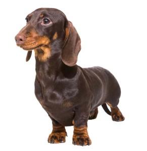 Second best apartment dog Dachshund
