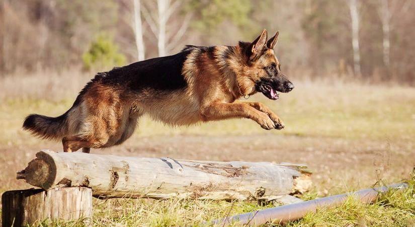 German Shepherd Dog An Ideal Guard Dog K9 Research Lab