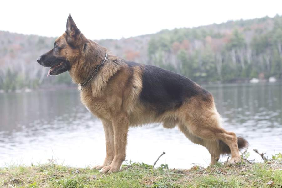 German Shepherd Dog intelligent dogs