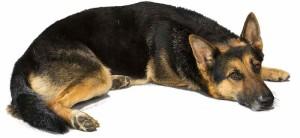 Guard dog German Shepherd Dog