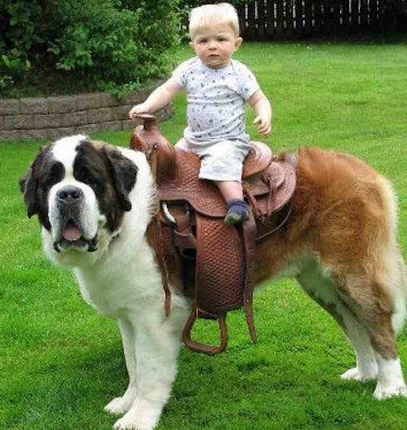 Biggest Dog Breed | www.pixshark.com - Images Galleries ...