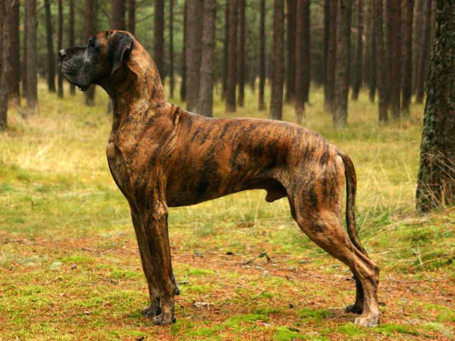 Great-Dane