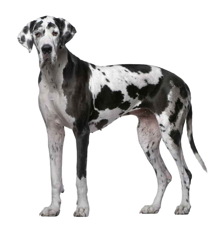 Great Dane  The worlds tallest  dog breed information and images. K9RL