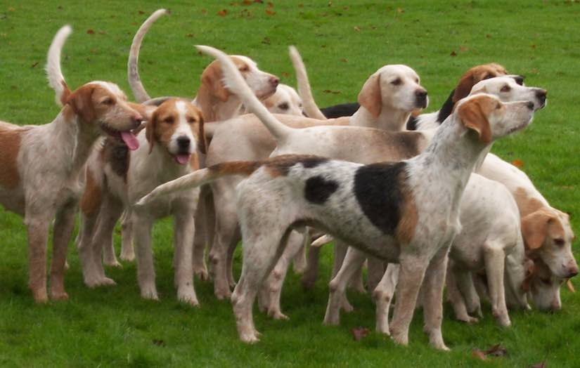 Hound dogs English Foxhound