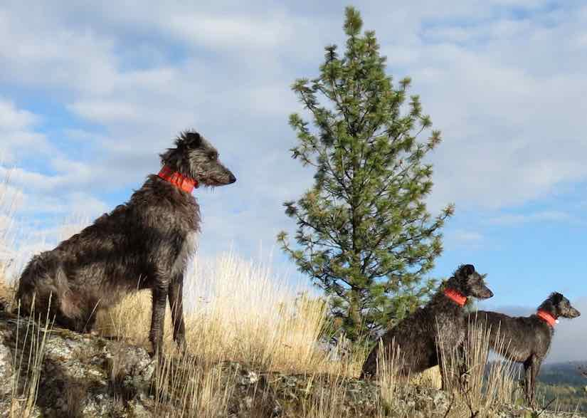 Hounds Scottish Deerhound