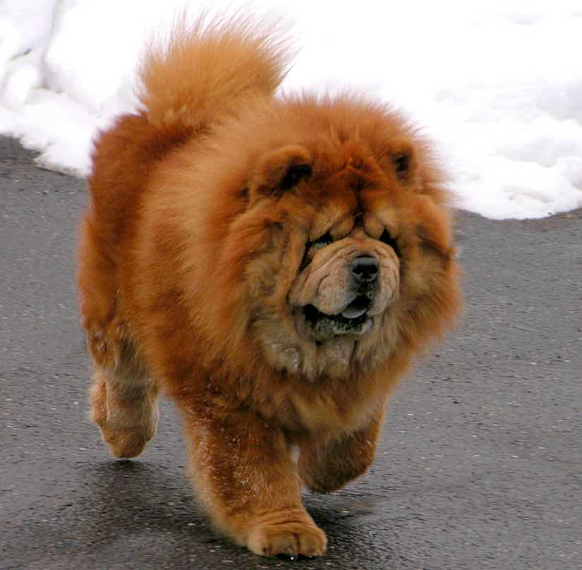Non sporting breed Chow chow