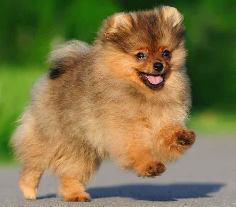 Pomeranian toy dog breed