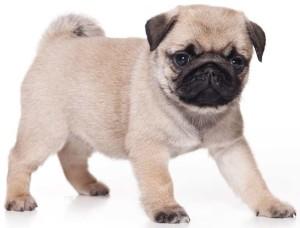 Pug apartment dogs
