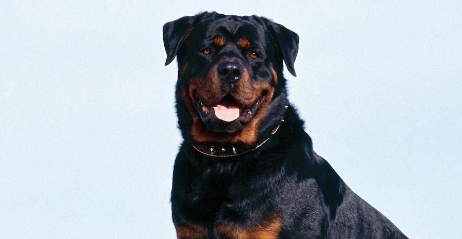 Rottweiler smart dogs