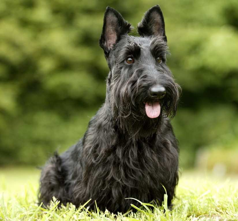 Scottish-Terrier-terrier breeds