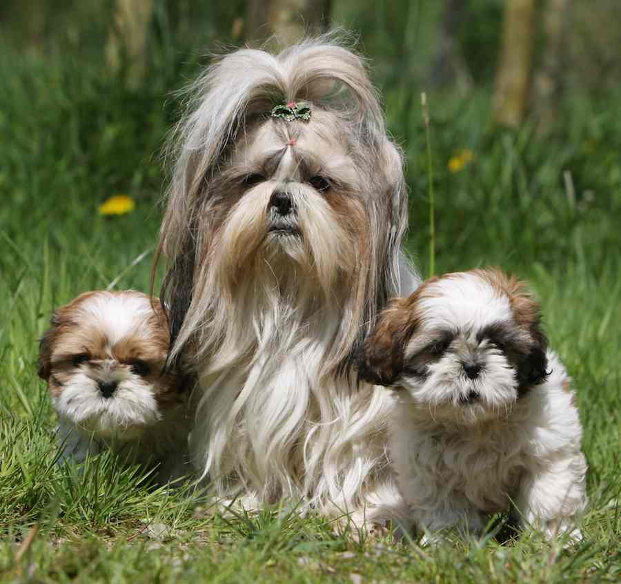 shih tzu don t hypoallergenic dog breeds dogs that don t shed k9 6047