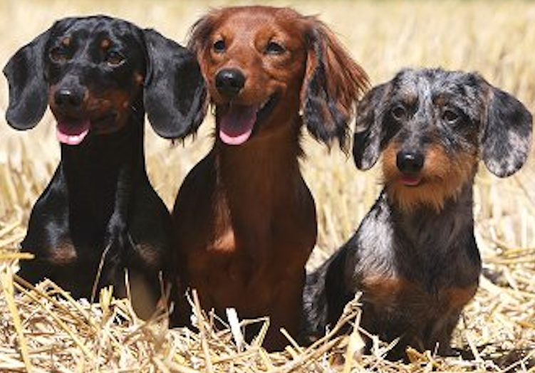 Smooth Wirehaired Longhaired Dachshunds