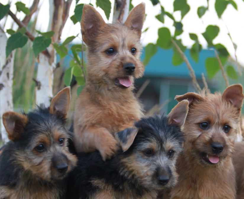 Terrier Breeds Australian Terrier
