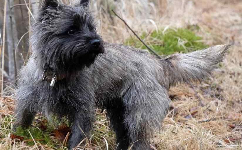 Which is the best terrier breed to have?