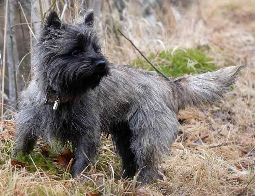 Terrier breeds Cairn Terrier