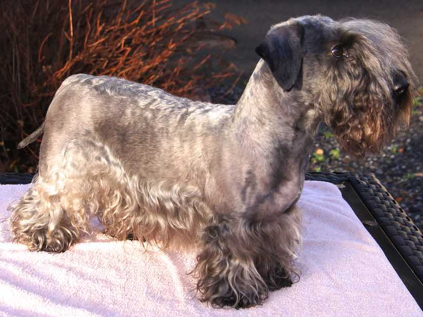 Terrier breeds Cesky