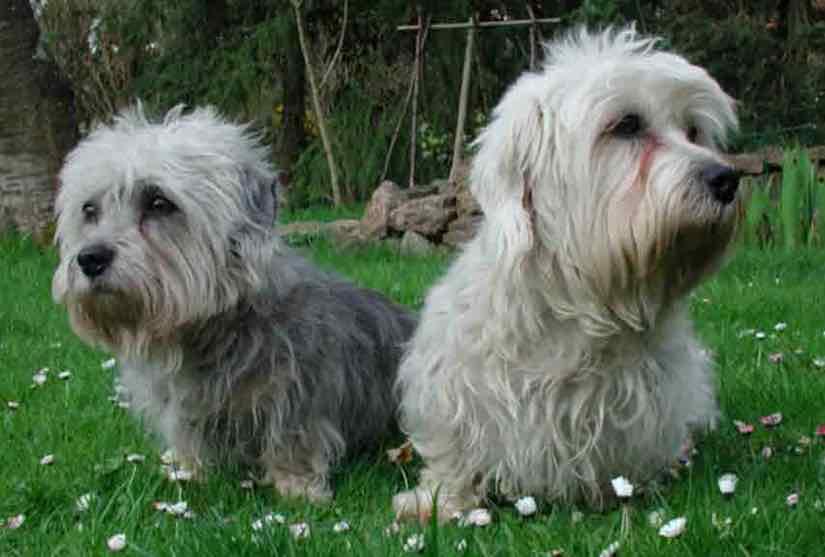 Terrier breeds Dandie Dinmont