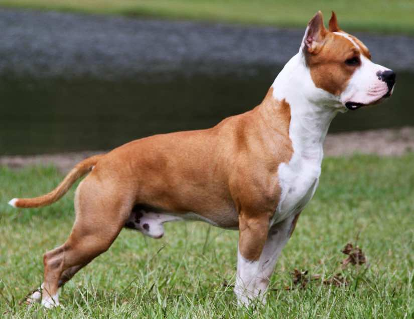 Terrier dog breeds Amstaff