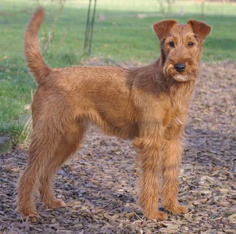 Terrier dogs Irish terrier