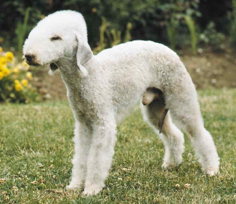 Terriers Bedlington Terrier