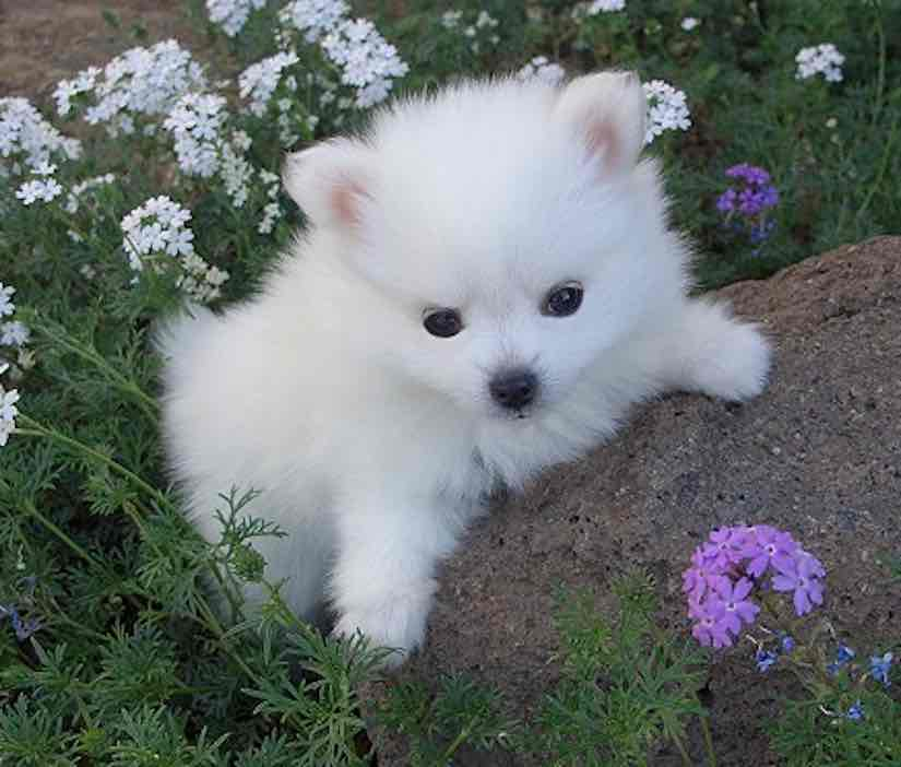 Toy American Eskimo dog breed