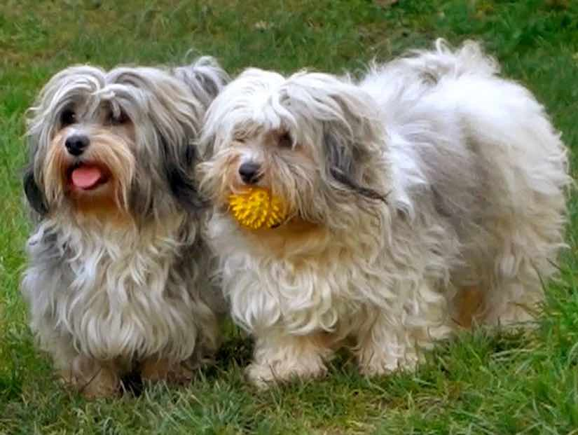 Toy dog breed Havanese