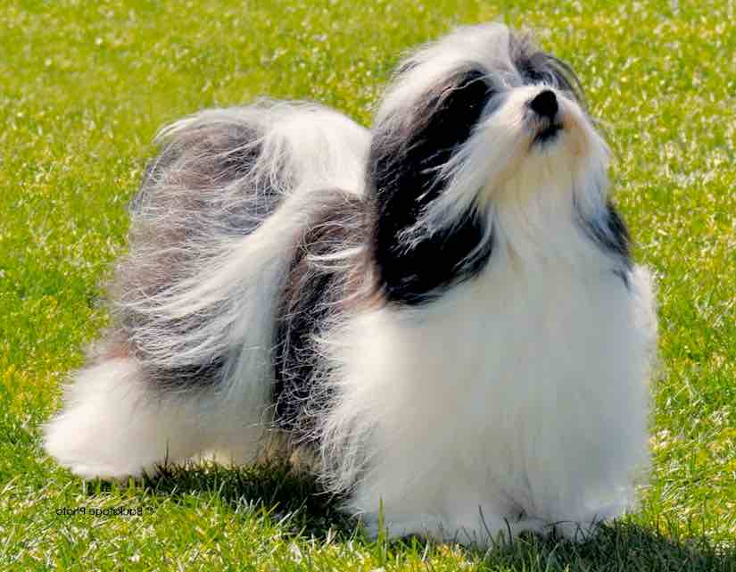 Toy dog breed Japanese Chin