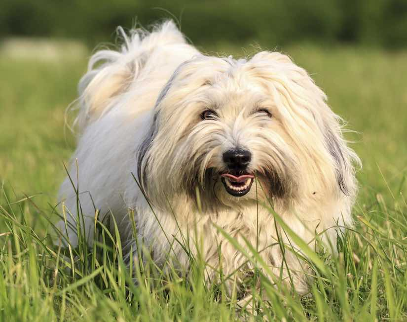 Toy dog breed coton-de-tulear