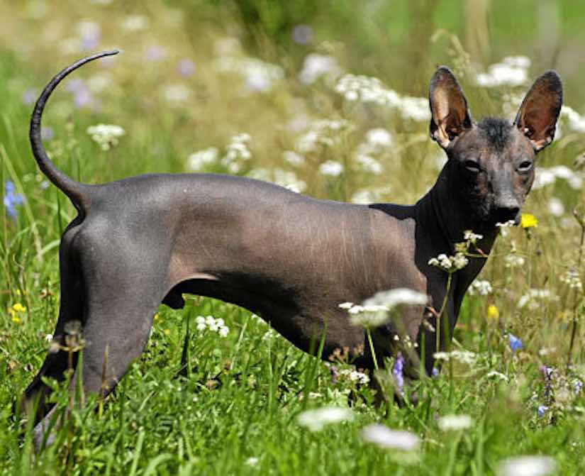 Toy dog breed xoloitzcuintli