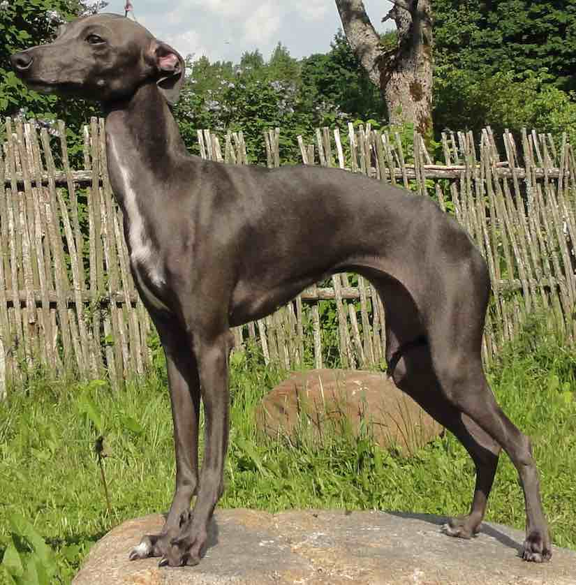 Toy dog breeds Italian Greyhound