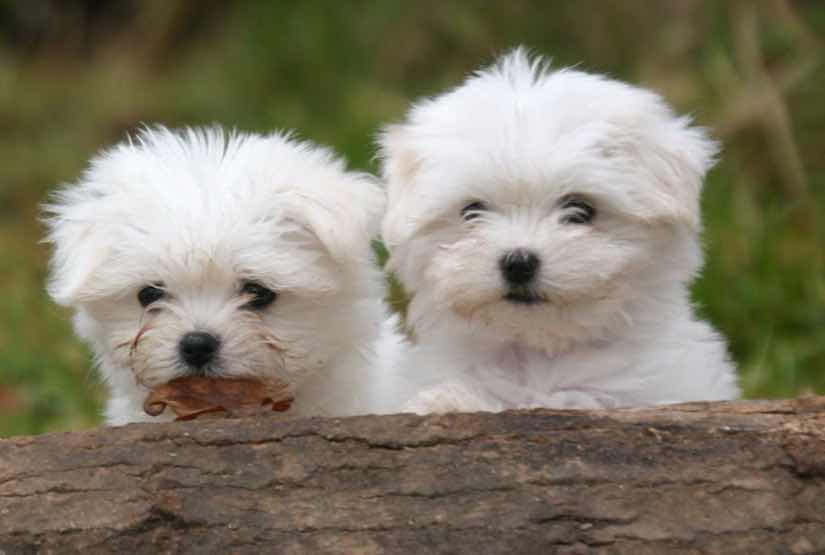 Toy dog breeds Maltese