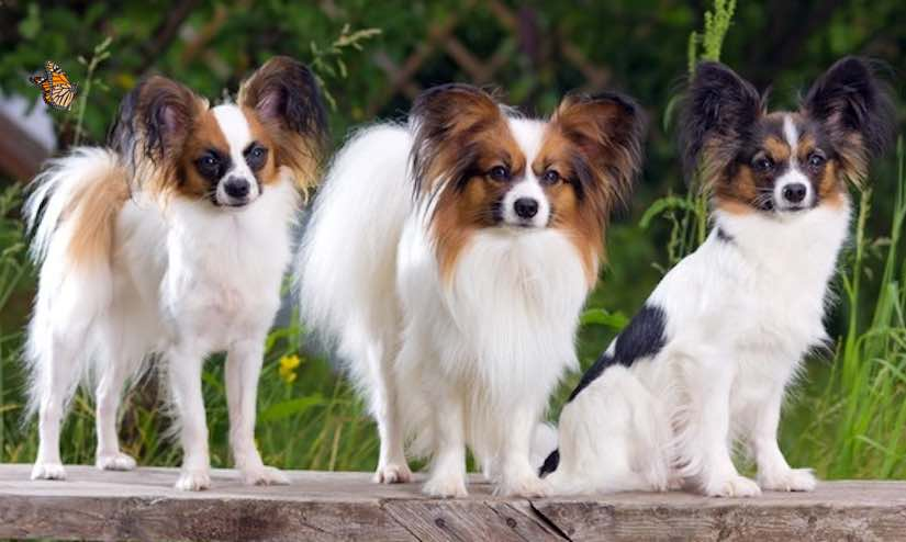 Toy dog breeds Papillon