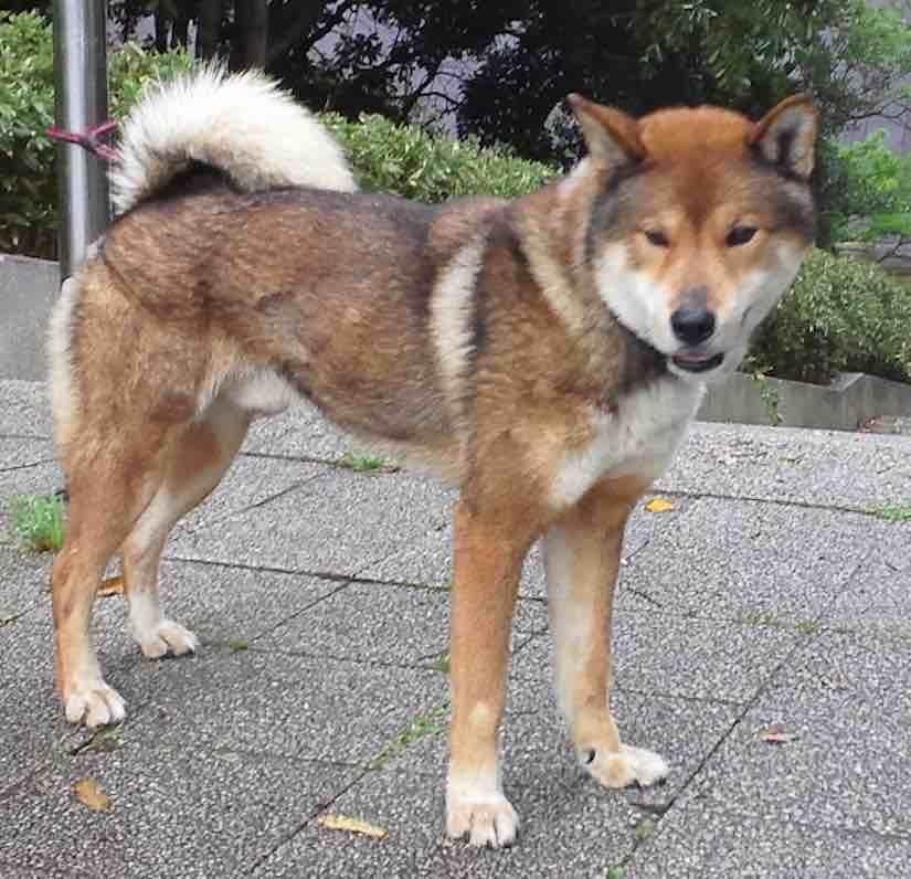 hounds Shikoku