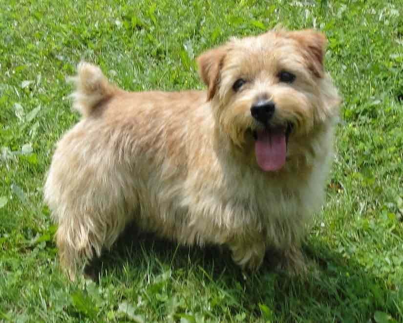 terrier breeds Norfolk Terrier