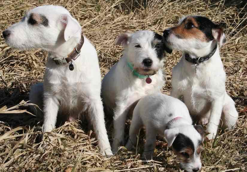 terrier breeds Parson russell terrier