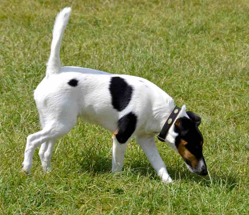 terrier breeds Smooth Fox Terrier