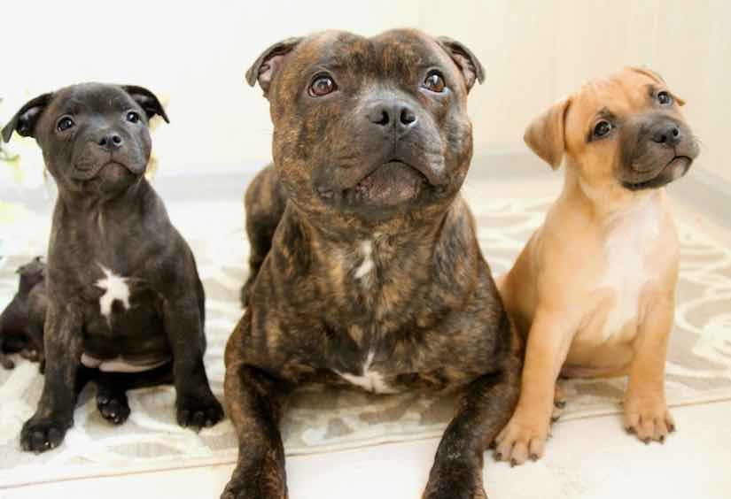 terrier breeds Staffordshire bull terrier