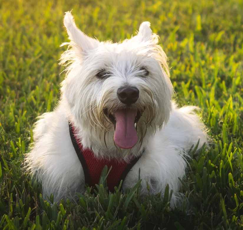 terrier breeds West Highland White Terrier