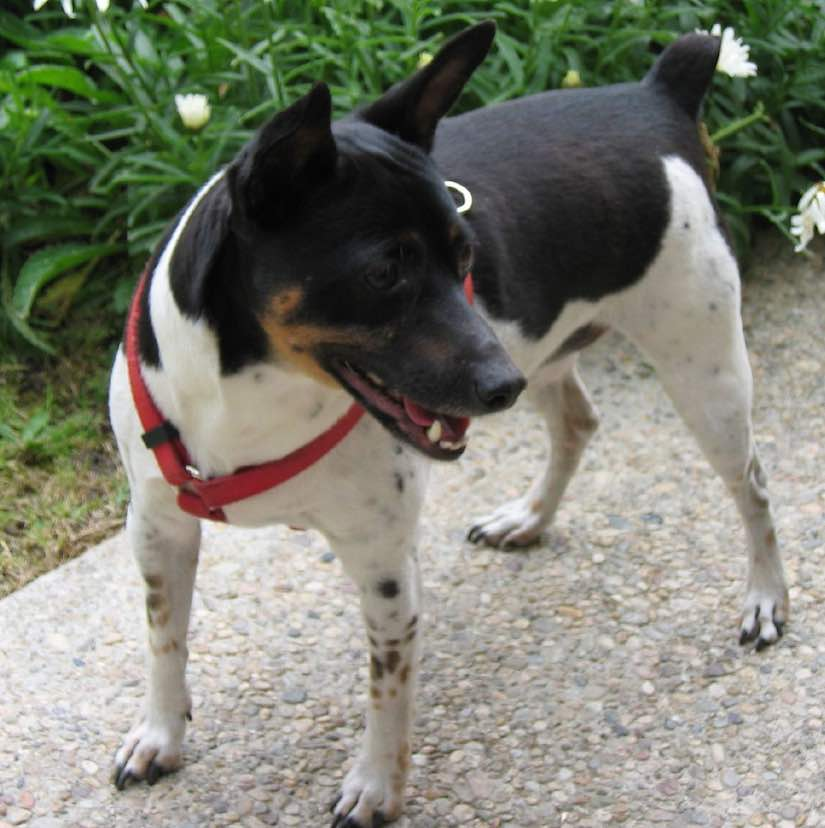 terrier breeds rat terrier