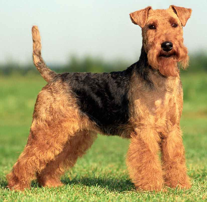 terrier breeds welsh terrier