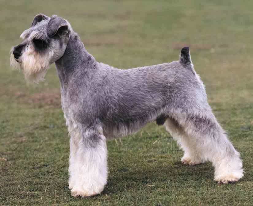 Terrier chien races schnauzer miniature