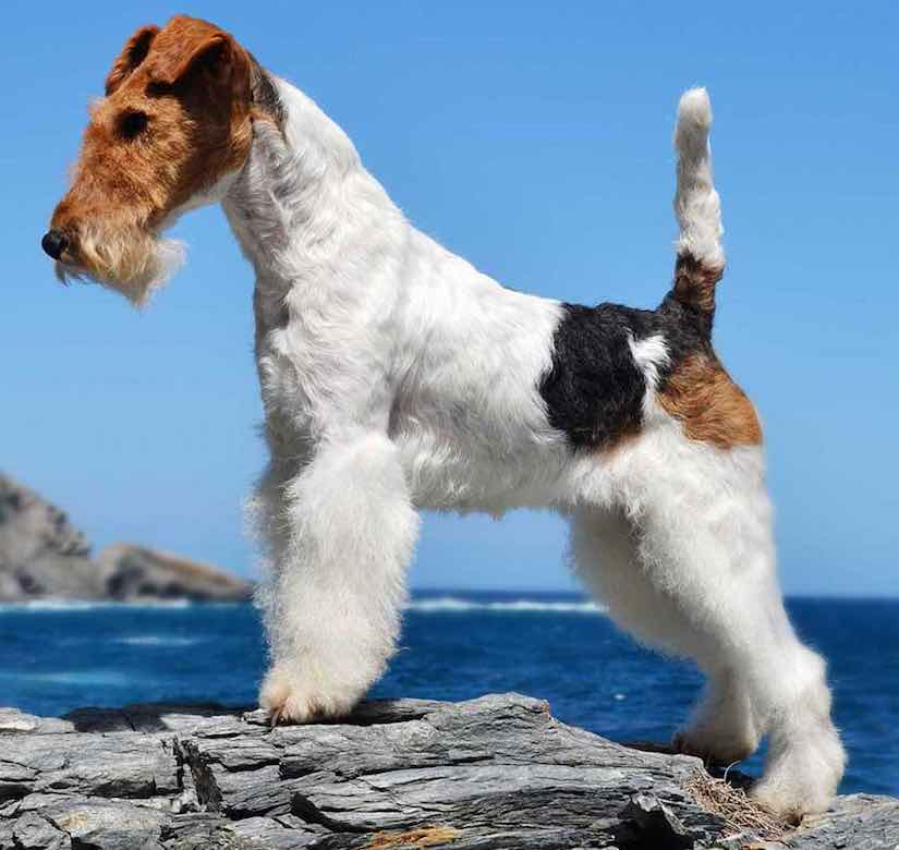 terrier chiens fil fox terrier