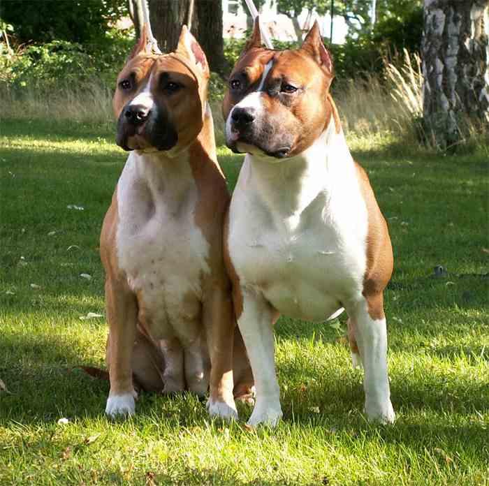 American Staffordshire Terrier Pair
