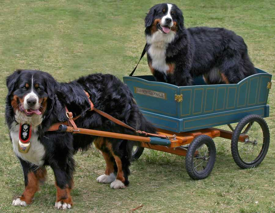 Bernese Mountain Dogs Bouvier Bernois
