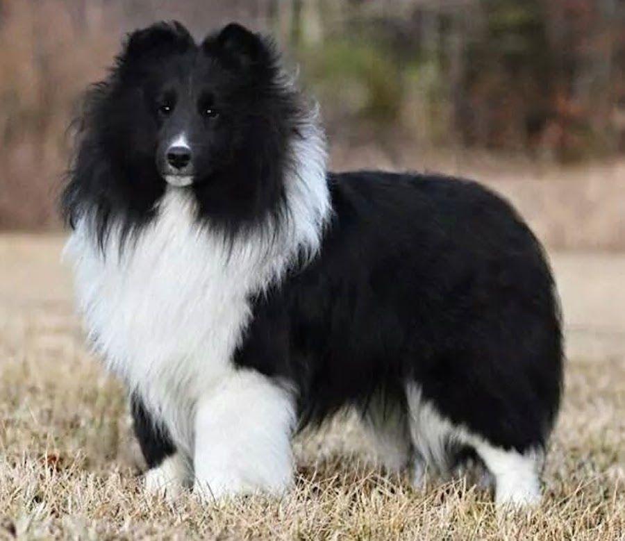 Black Shetland Sheepdog
