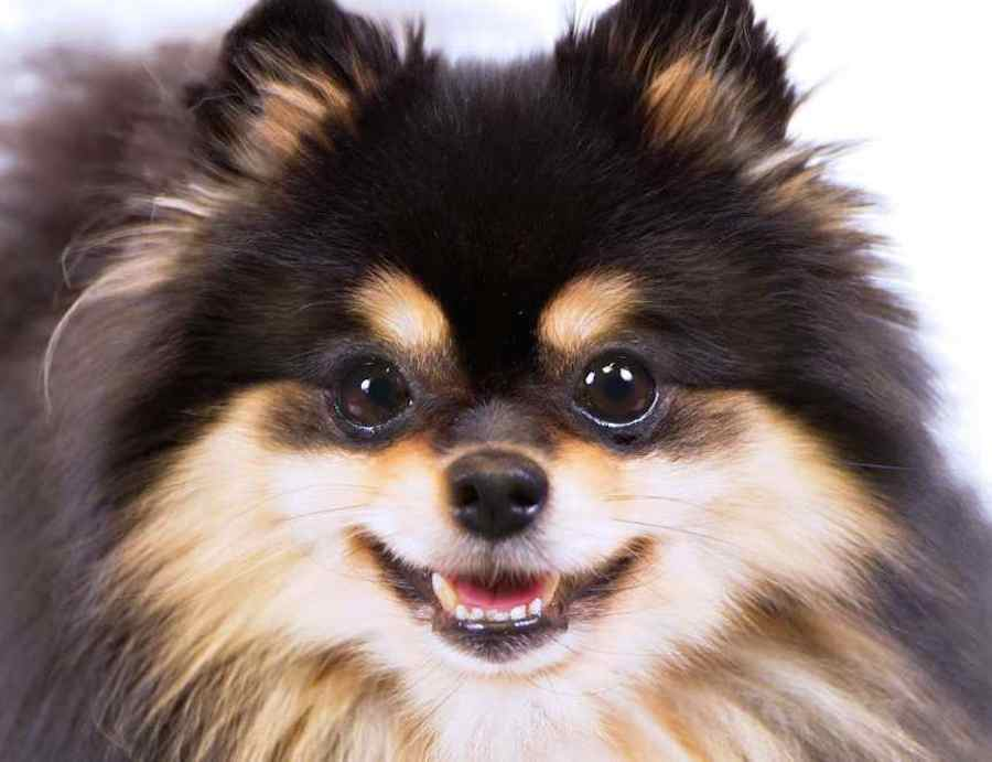 Pomeranian Probably The Cutest Dog Breed K9 Research Lab