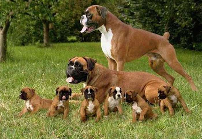 Boxer Family best breed for kids