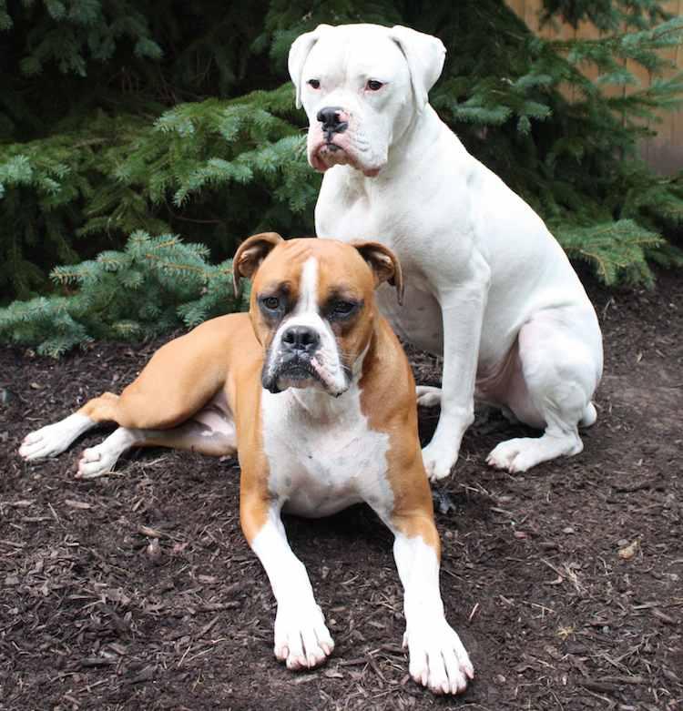 white american bulldog boxer mix