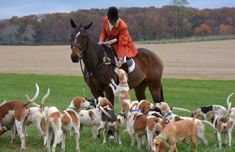 English Foxhounds